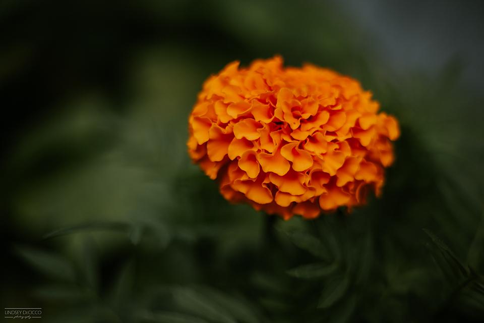 68/365 Free lensing marigolds = a fun time