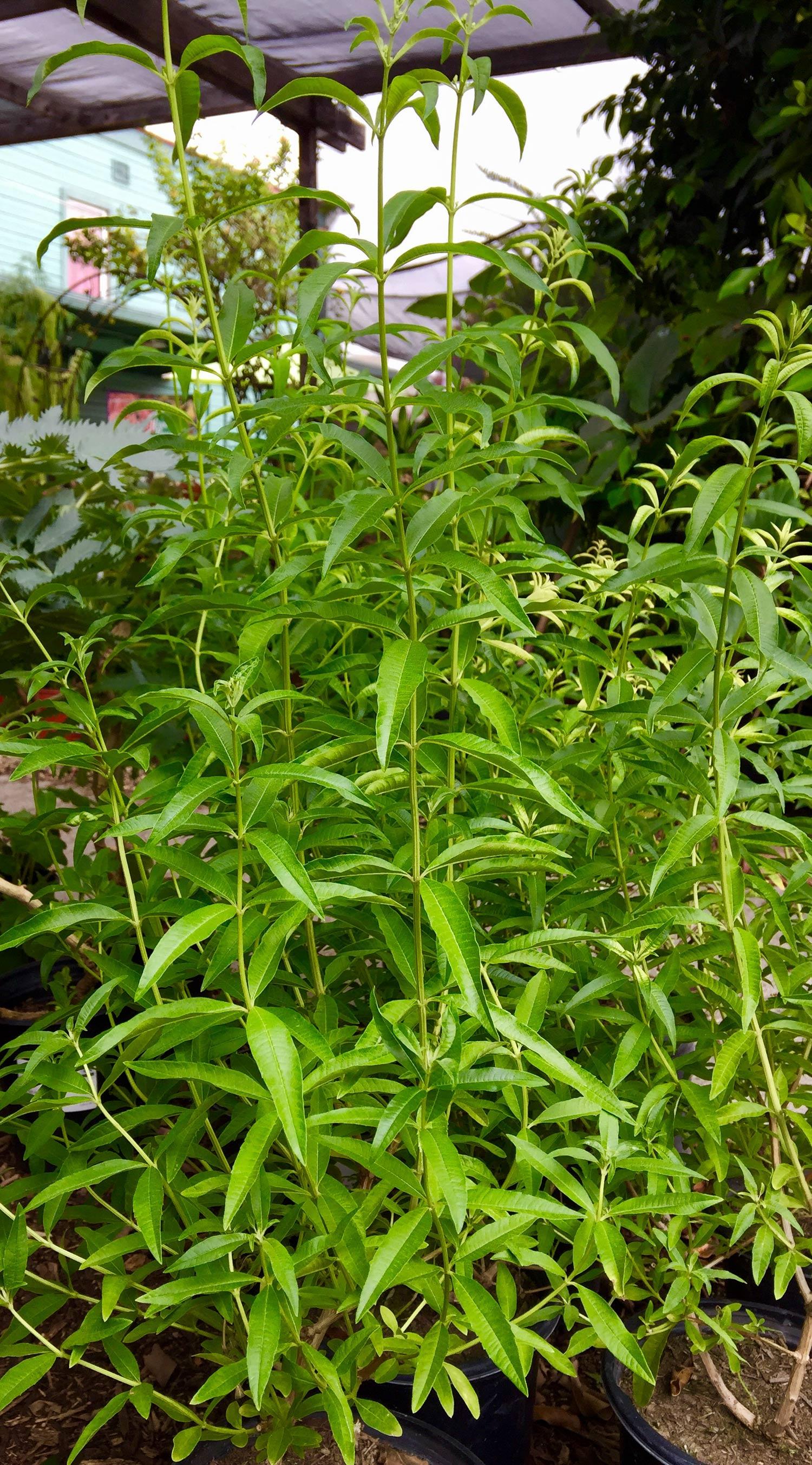 Aloysia Triphylla Lemon Verbena