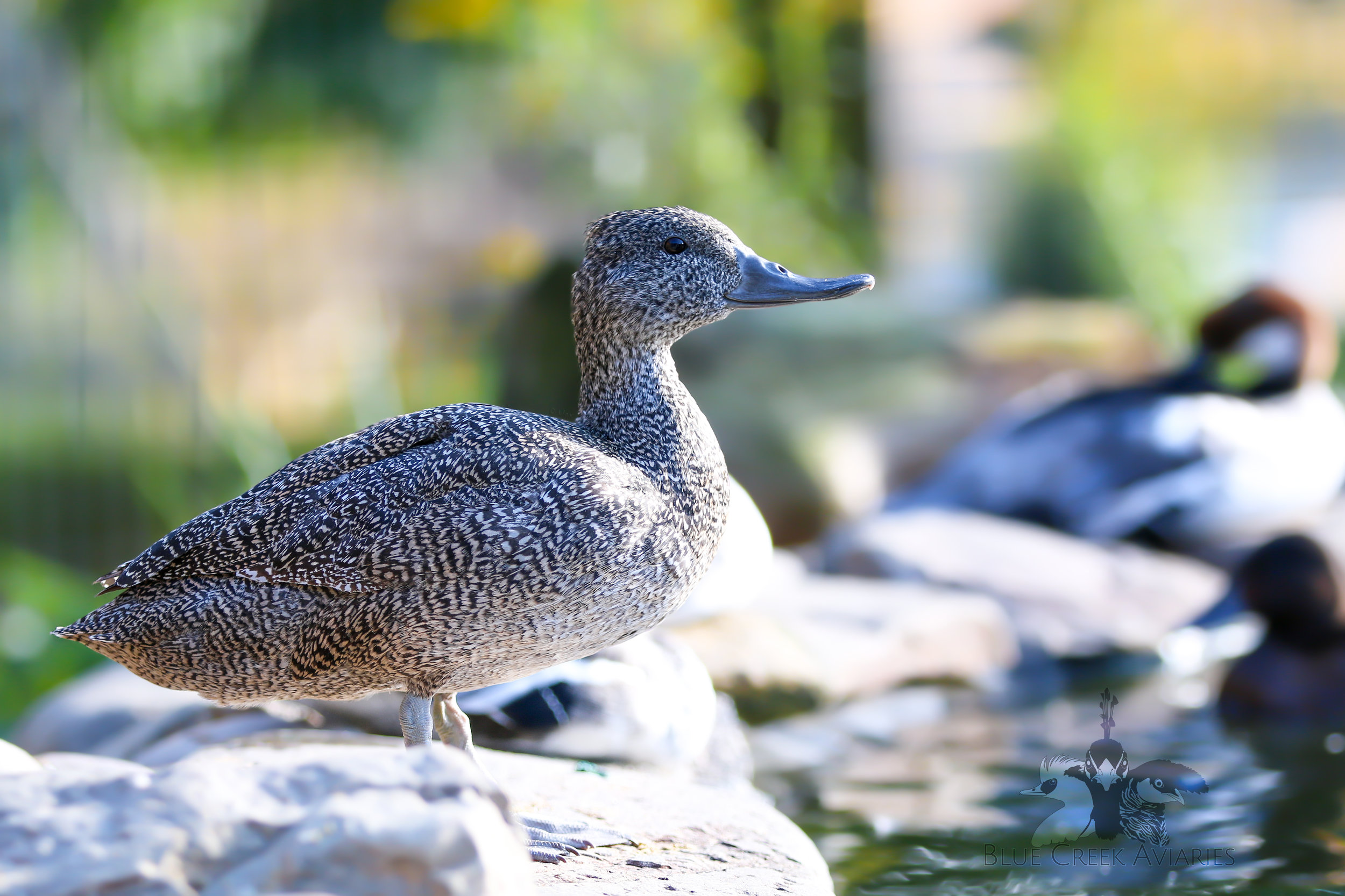 Freckled duck female