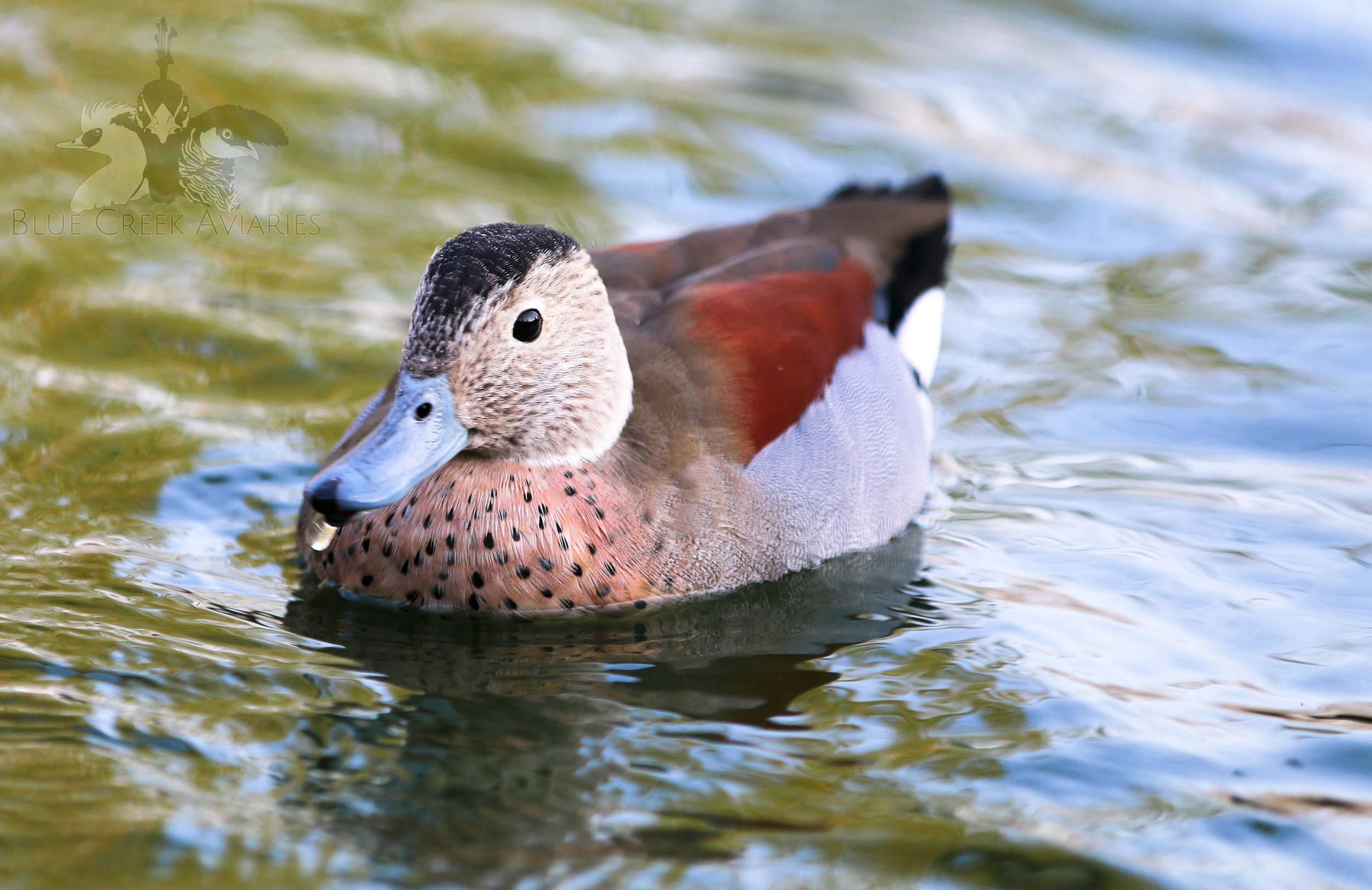Ringed teal male