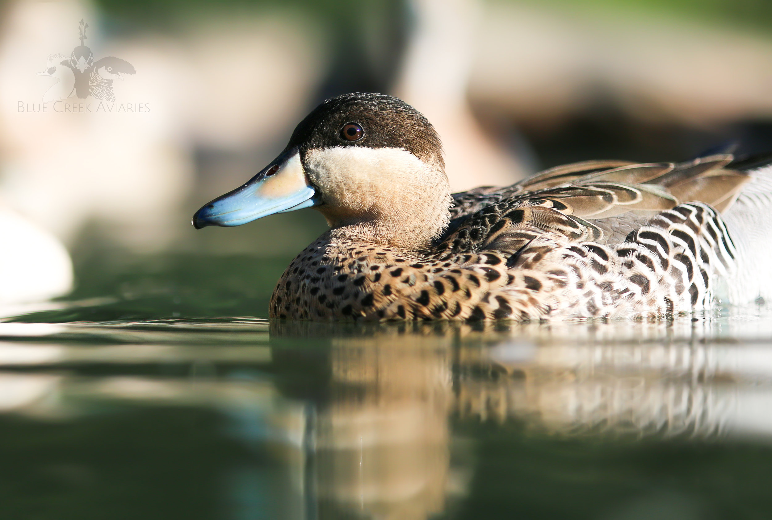 Juvenile silver teal male