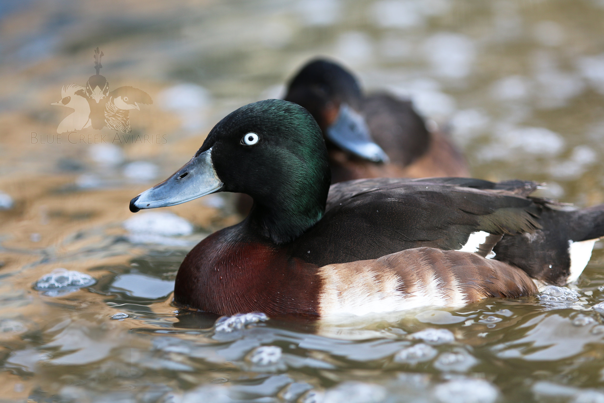 Baer's pochard pair