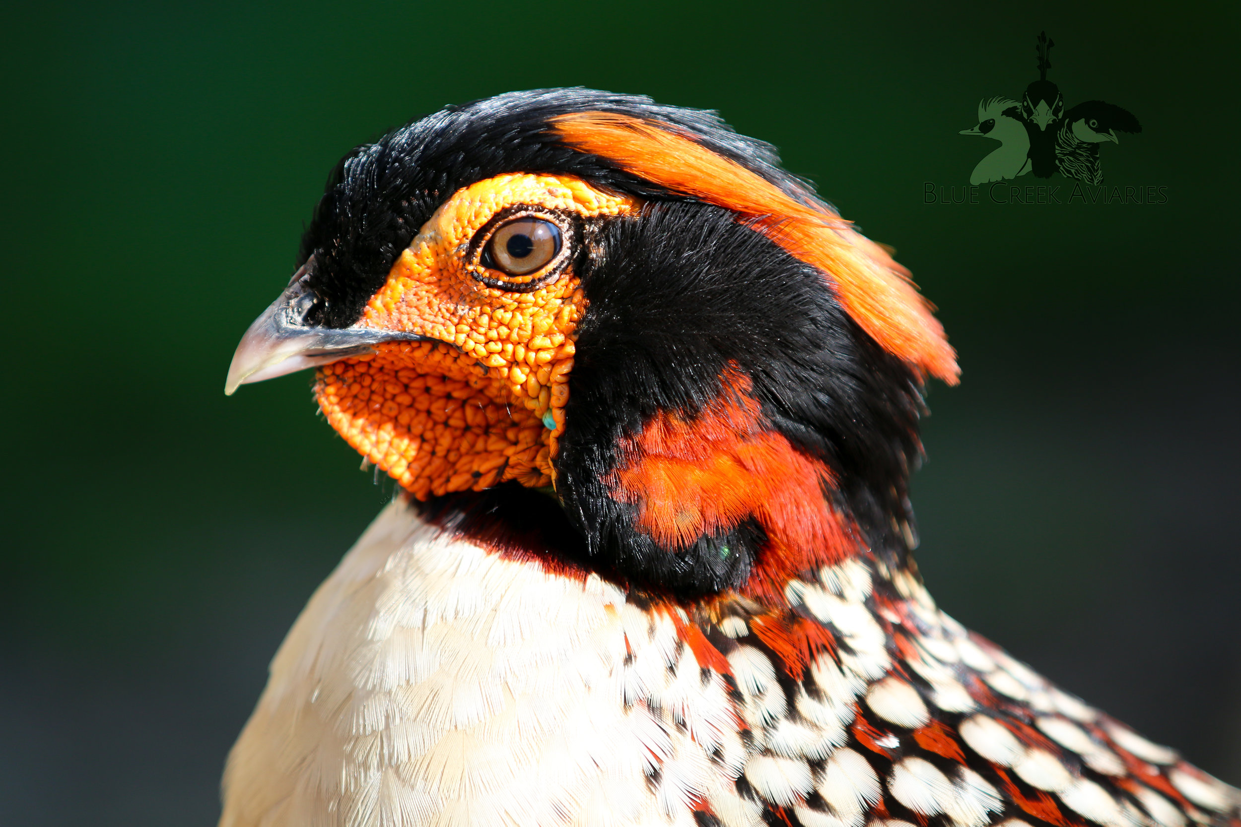 Profile of a Cabot's tragopan male