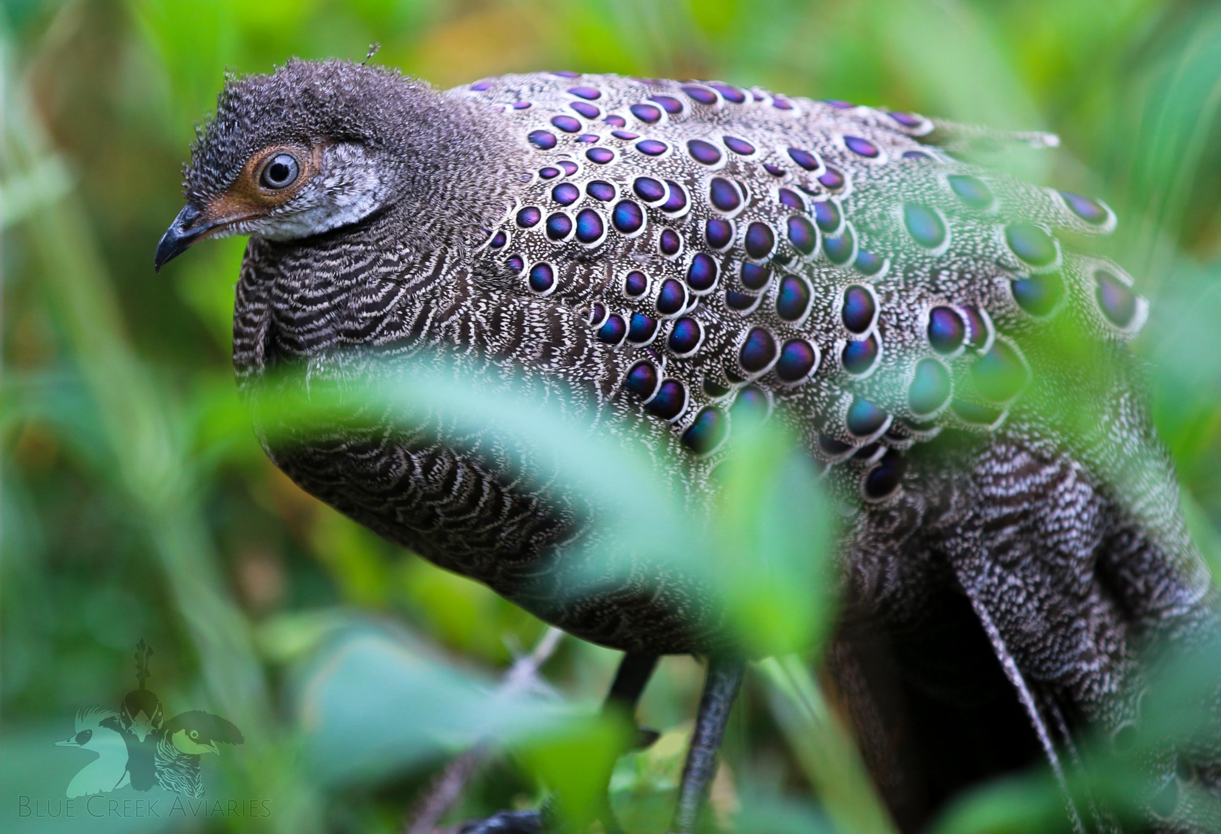Grey peacock pheasant male
