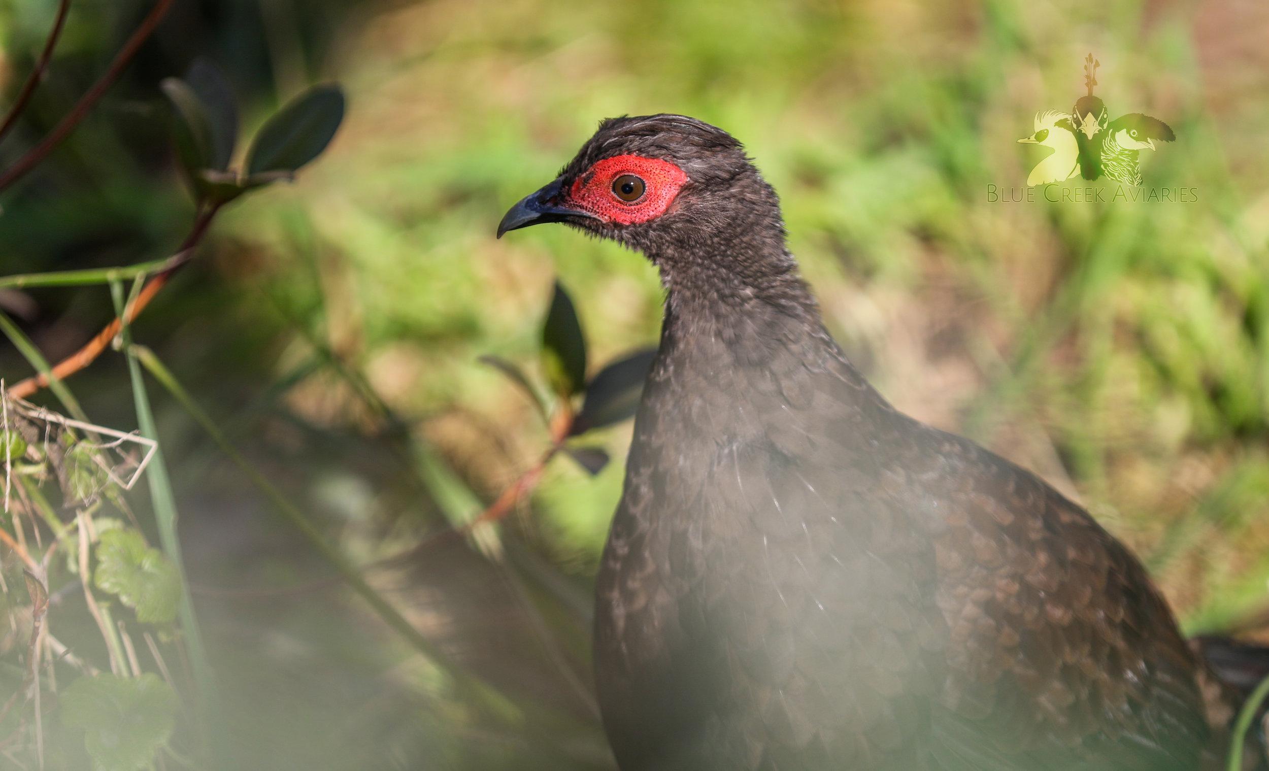 Edwards's pheasant female