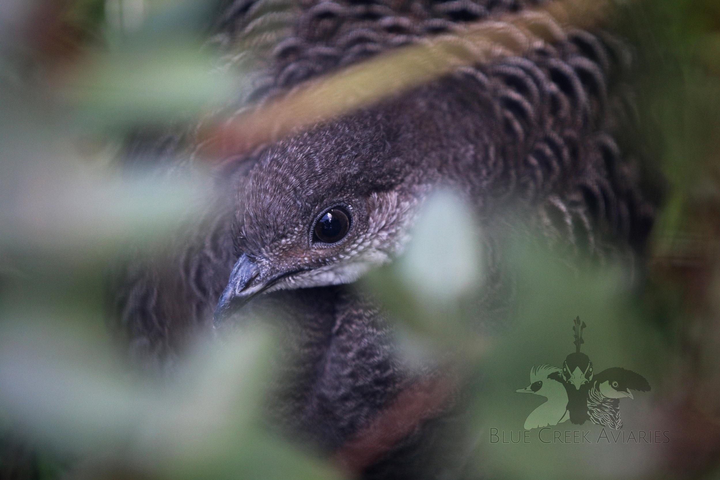 Grey peacock pheasant female