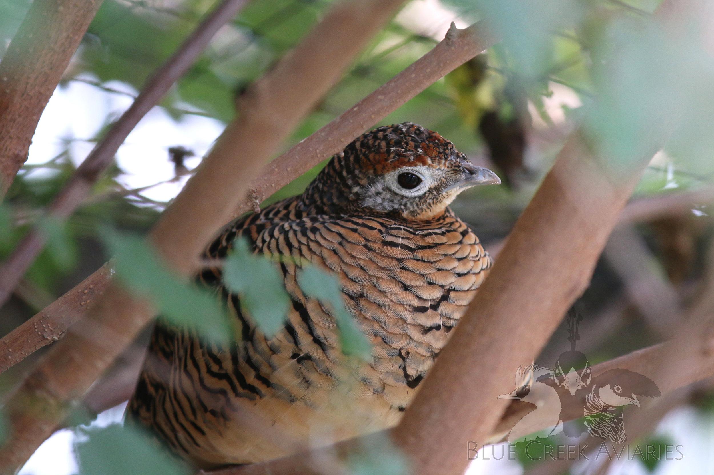 Lady Amherst's pheasant female
