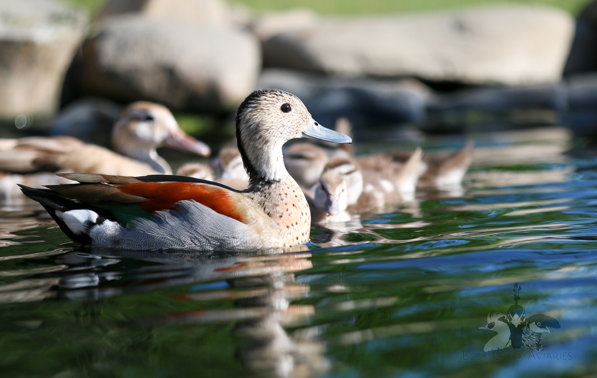 Ringed Teal family