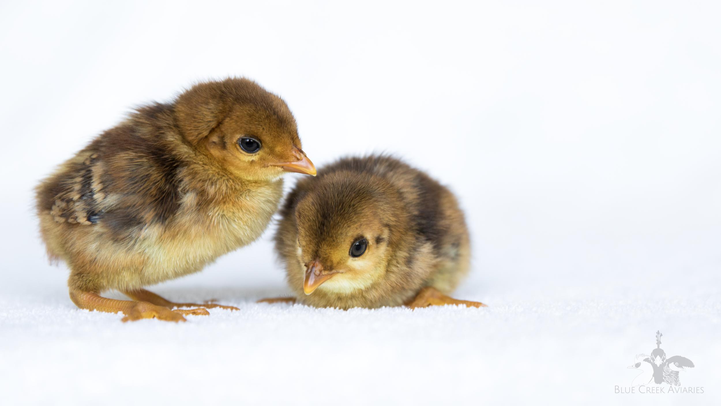Golden Pheasant chicks