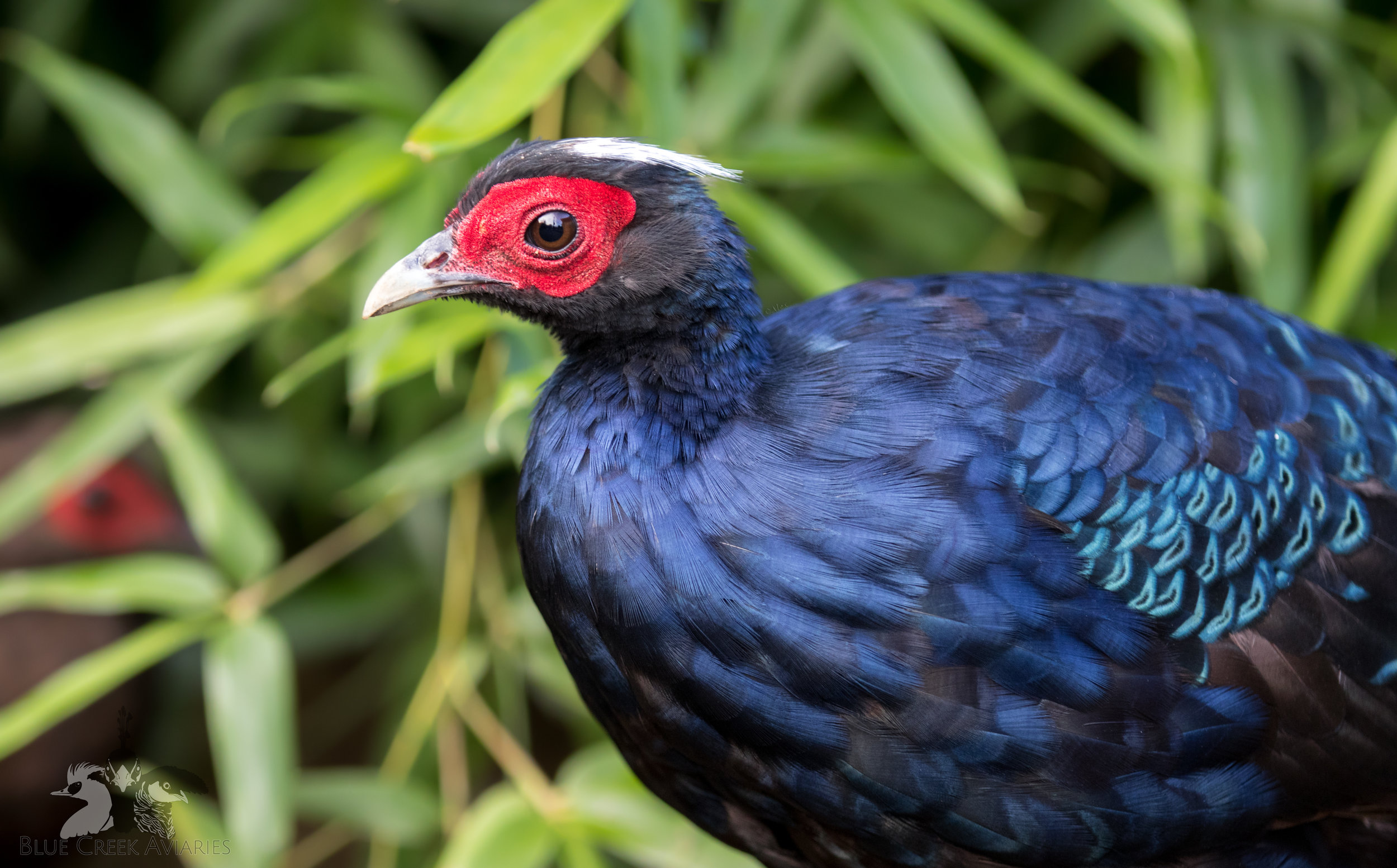 Edwards's pheasant male