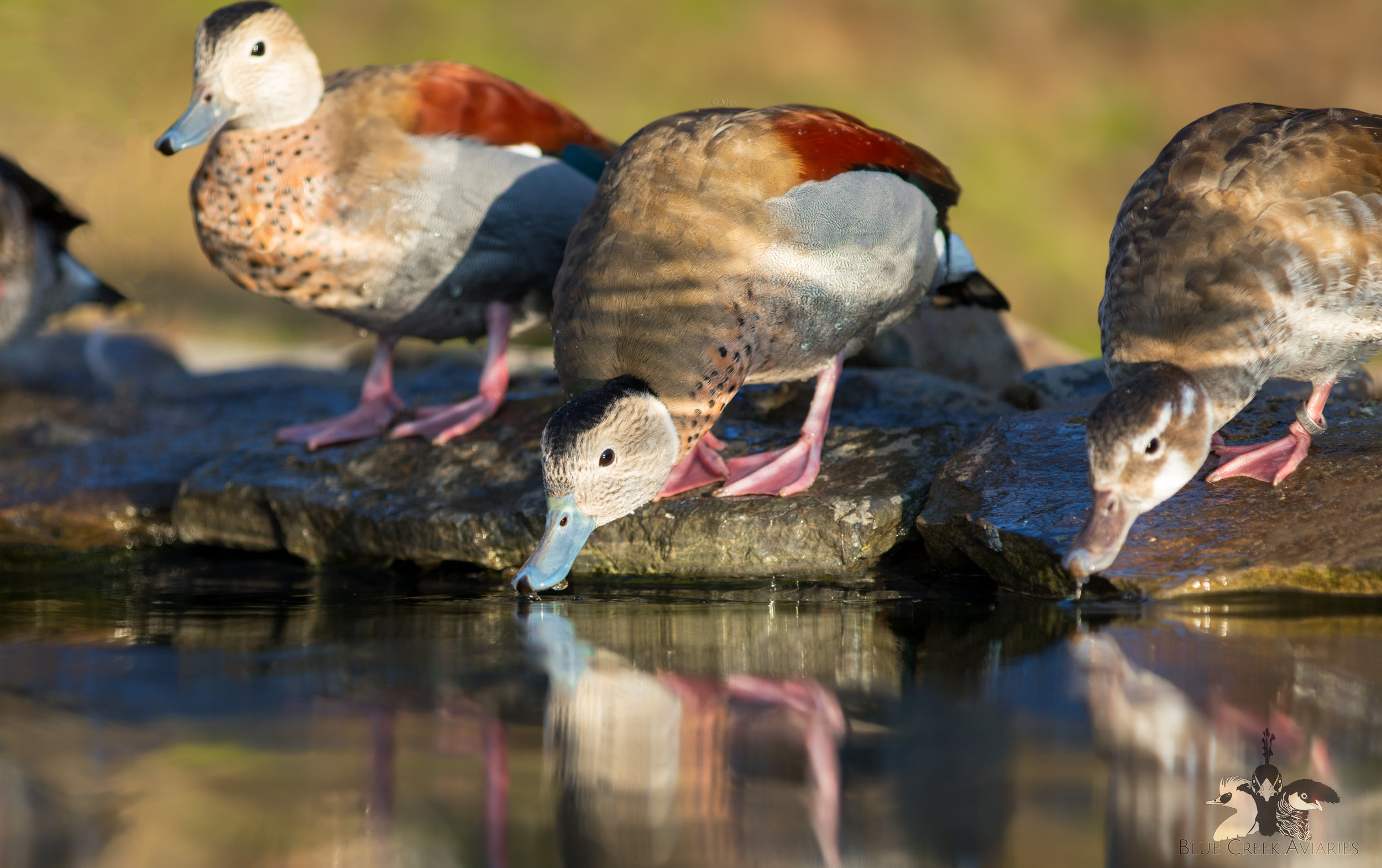 Group of ringed teal