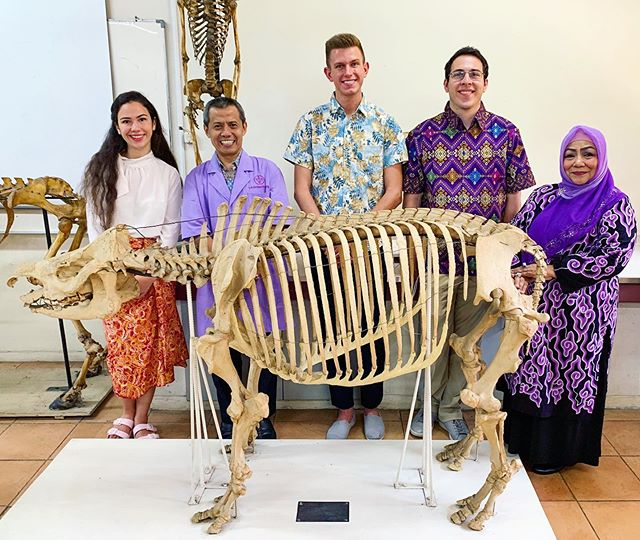 We are back in Bogor at IPB doing rhino pathology work. We were able to see a Sumatran rhino skeleton today, which was amazing to examine! For veterinary-oriented people, notice the extent of the rib cage (19 ribs) that helps give the rhinos their robust build for rainforest life. ⠀⠀⠀⠀⠀⠀⠀⠀⠀ 📷: @dedy_pahlawan ⠀⠀⠀⠀⠀⠀⠀⠀⠀ #sumatranrhino #skeleton #pathology #anatomy #bogor #ipbbogor