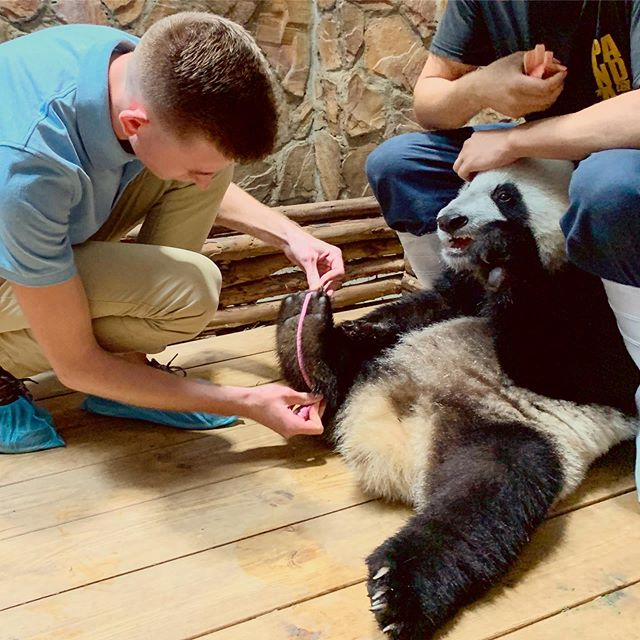I still cannot believe this happened today! 🐼 After being enamored by these incredible animals during my time at the Chengdu Research Base for Giant Panda Breeding, I finally had the opportunity to get hands on with the pandas! It's instances like these that continue to inspire me to pursue a career in conservation medicine. None of this would have been possible without my incredible mentor, Dr. Valitutto, and I look forward to more exciting projects with him in the future! ⠀⠀⠀⠀⠀⠀⠀⠀⠀ ⠀⠀⠀⠀⠀⠀⠀⠀⠀ 📷: @drattitutto ⠀⠀⠀⠀⠀⠀⠀⠀⠀ ⠀⠀⠀⠀⠀⠀⠀⠀⠀ ⠀⠀⠀⠀⠀⠀⠀⠀⠀ #panda #giantpanda #pandas #chengdu #wildlifemedicine #futurevet #vetmed #wildlifeconservation #cornellsummer