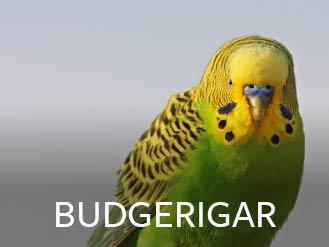 budgerigar.jpg