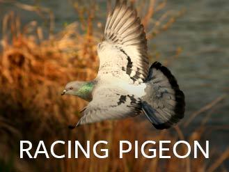 racing_pigeon.jpg