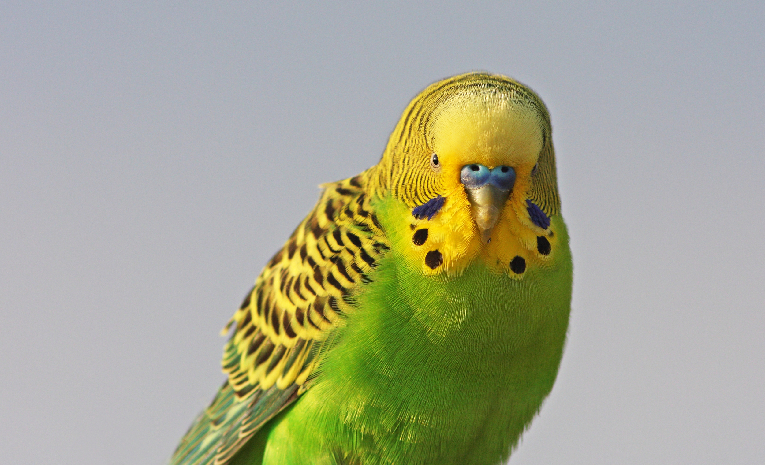 Database tables   Budgerigar    More info