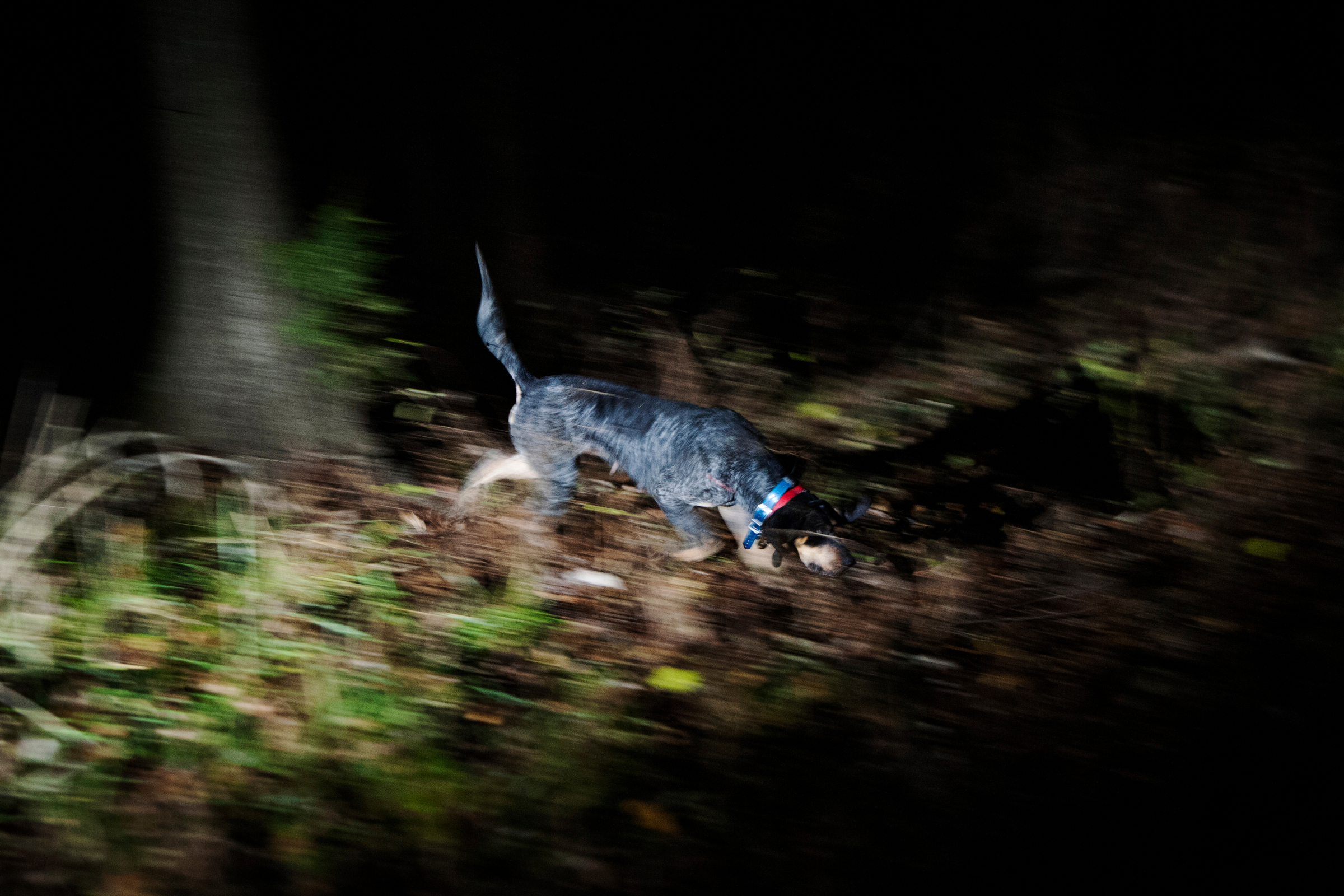 A bluetick coonhound tracks through farm land near Stover, Mo. Hunters often make deals with local farmers who fear raccoons eating their crops and spreading disease.