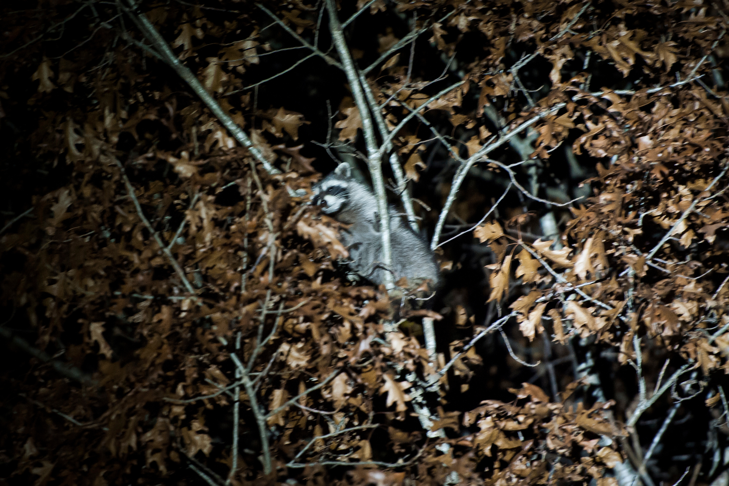 A raccoon treed in a competition hunt outside of Stover, Mo.