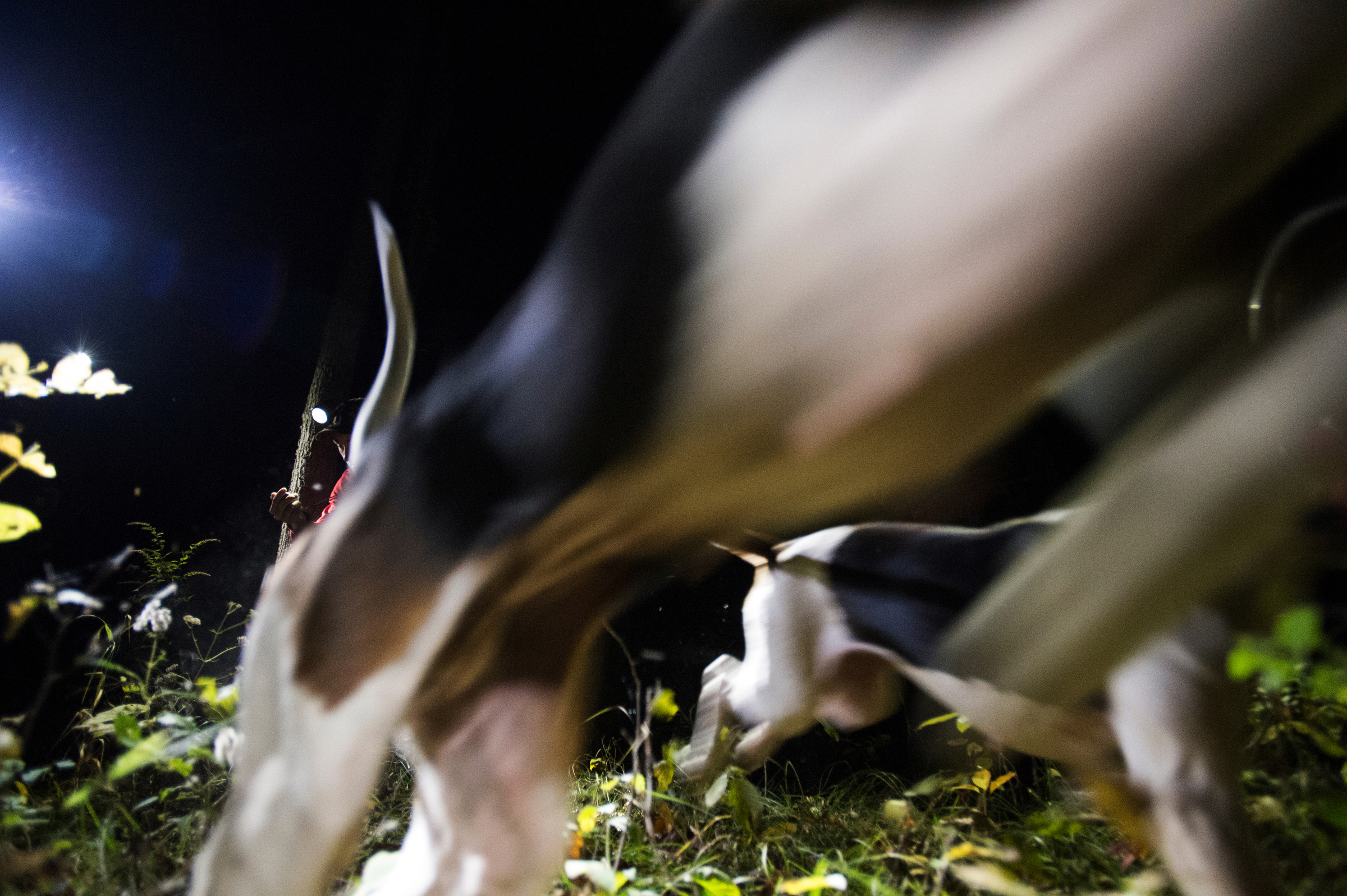 Dogs take off after the scent trail of raccoons during a late fall Missouri Federation youth hunt, where young hunters bring the dogs they've trained to compete against each other for prizes.
