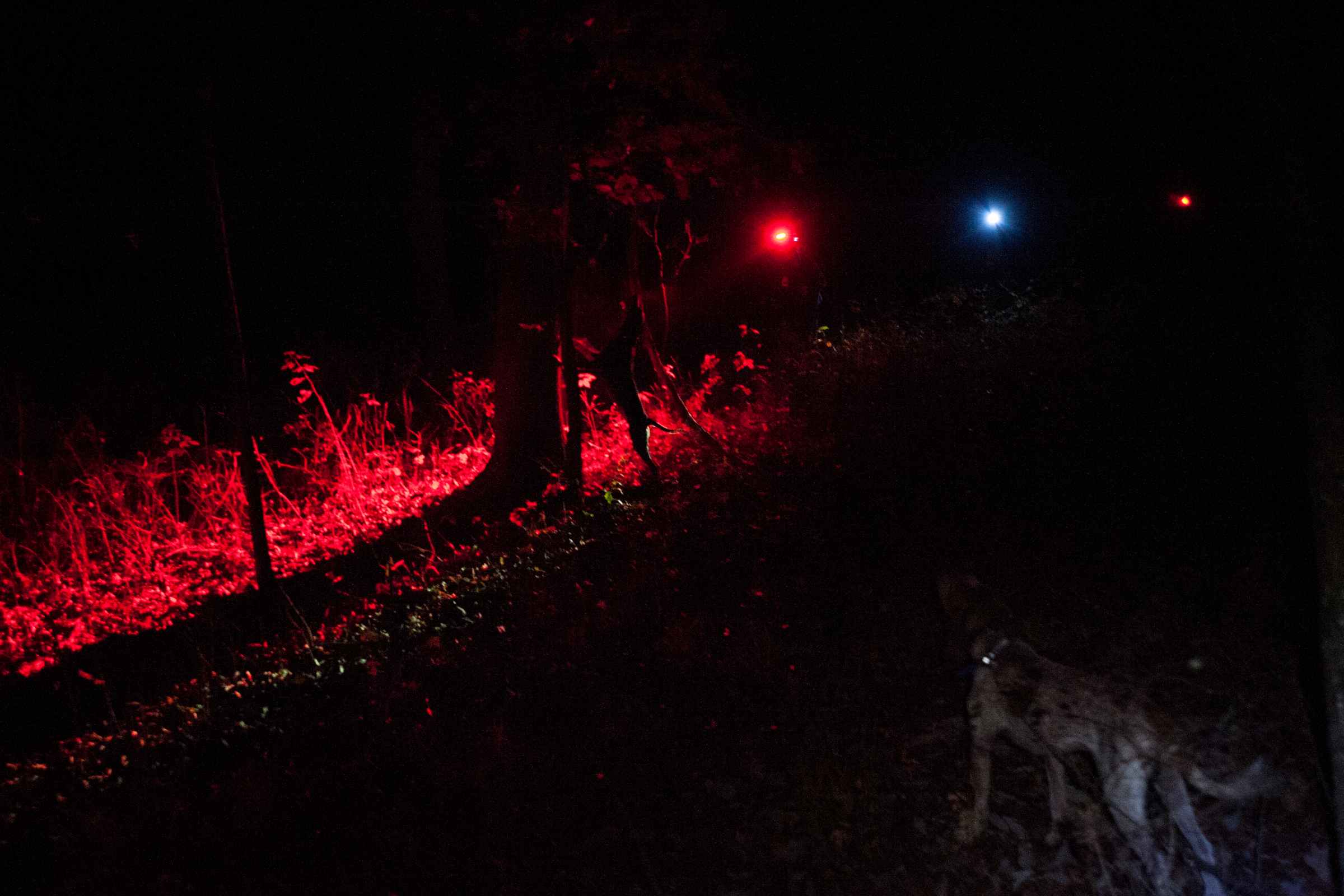 Hunters use their headlamps, turned to a red light, to embellish the contrasting colors of a raccoon treed by a competitor's dog and causes less eye strain from the changing light condition.