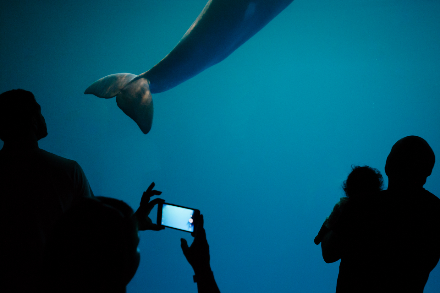 People watch a passing beluga whale after a show at the Shedd Aquarium in Chicago, IL on Febuary, 19, 2017.