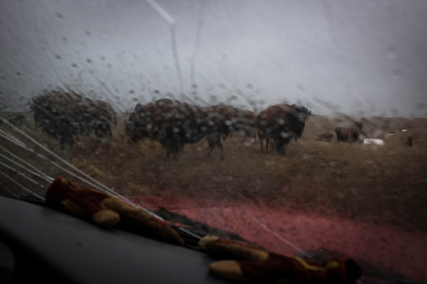"""45º19'04.0""""N, 102º10'43.9""""W. 120 miles from the nearest McDonald's. A small number of America Plains Bison are seen through the cracked windshield of rancher Jamie Hepper's pickup truck in Meadow, SD on April 12, 2018. Hepper is a third-generation bison rancher, starting her own business with the help of her father, following in the footsteps of her grandfather who was one of the first to commercially ranch bison on a large scale, helping to bring the species back from the brink of extinction."""