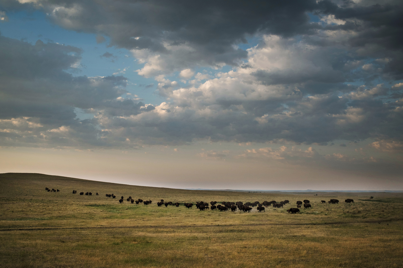 """45°18'29.7""""N 102°11'30.3""""W. 117 miles from the nearest McDonald's.A herd of American plains bison, or buffalo, run across the rolling landscape of Jamie Hepper's ranch between the towns of Meadow and Faith, SD on August 1, 2017. Buffalo, which were historically endemic to the plains states, were hunted to near-extinction causing massive repercussions to the indigenous communities who relied on them for food. Despite this, other ranchers have resisted commercial buffalo ranching, equating them to be as harmful to local cattle herds as wolves."""