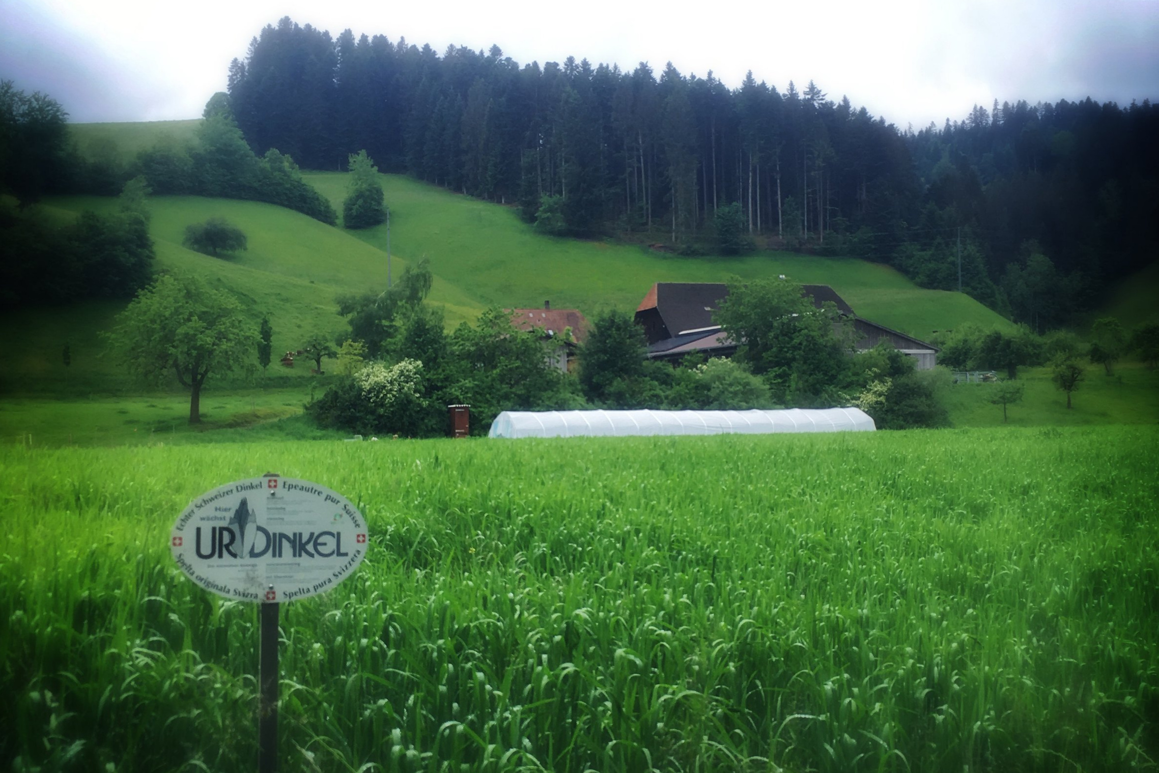 They grow  UrDinkel  across the street from our house in the Emmental.