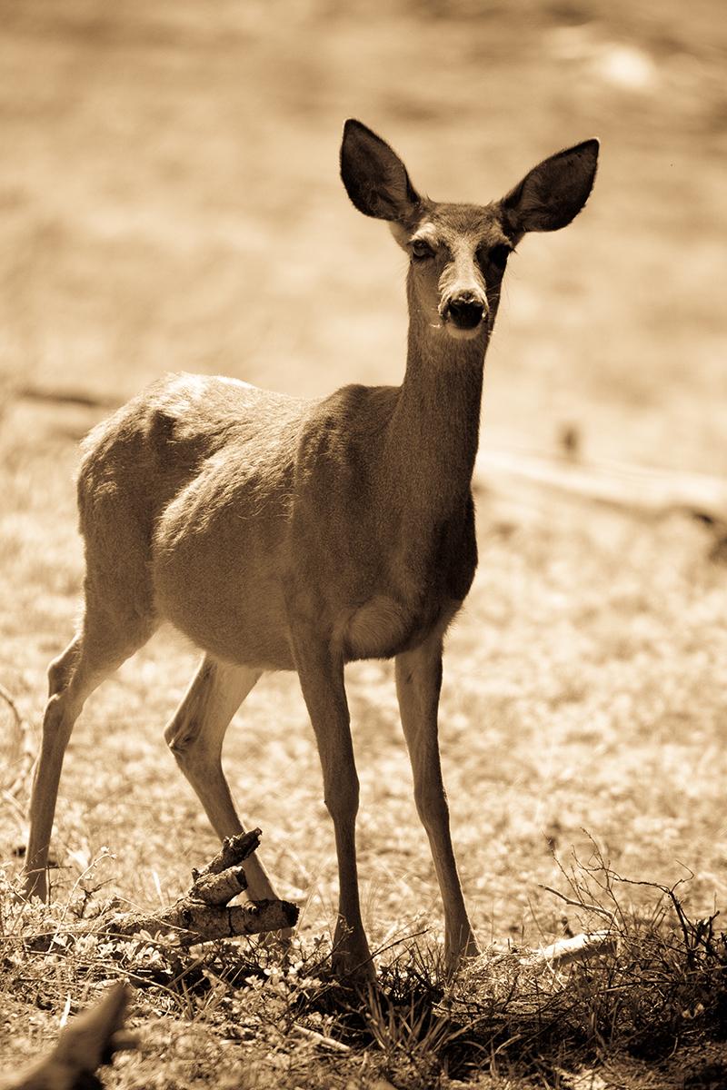 airstream rental san diego yosemite deer.jpg