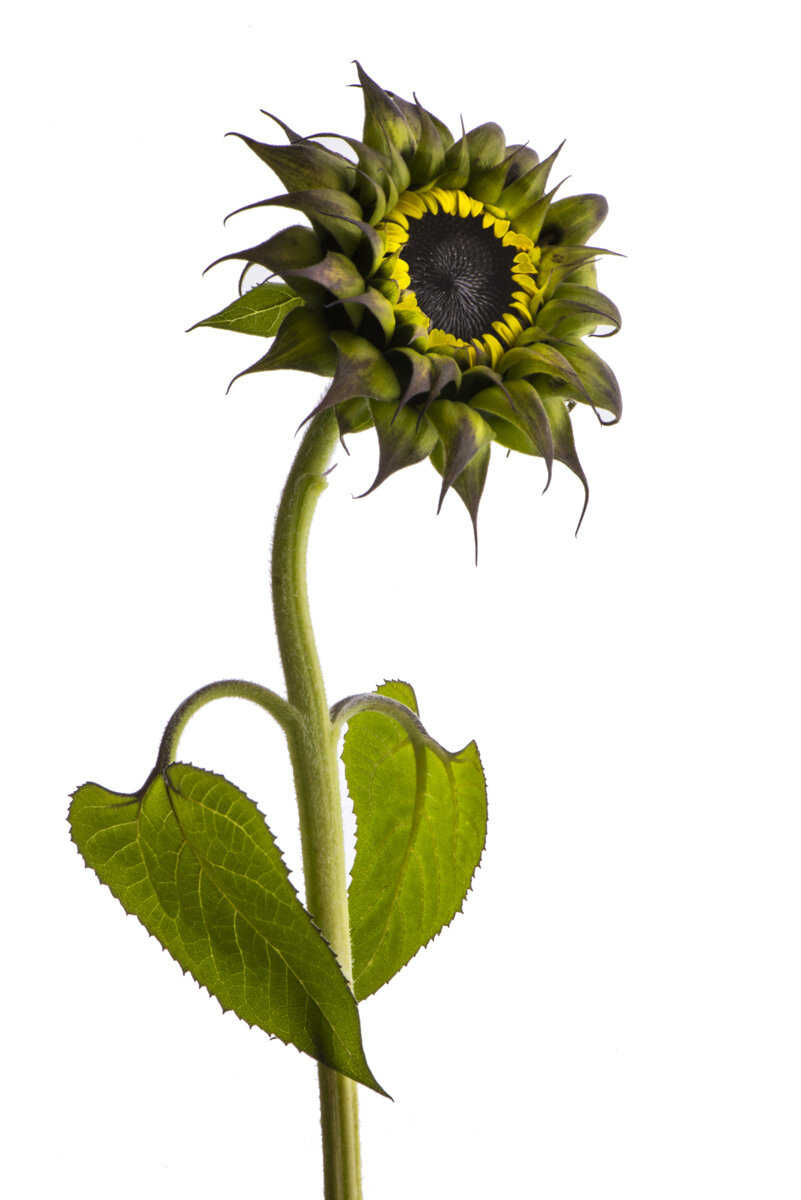 Sunflower with Attitude