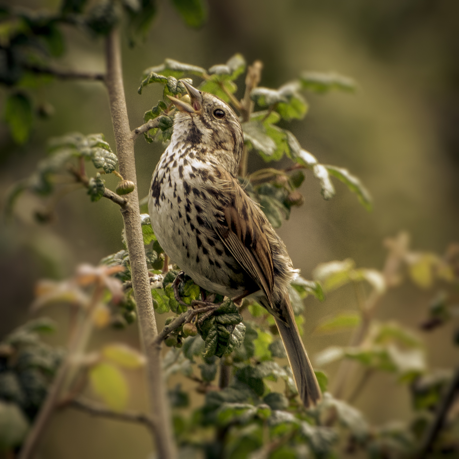 Sarah Barsness. Birds like the Song Sparrow are harder to distinguish from similarly-colored sparrows.
