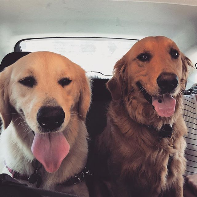 Backseat bromance 🐶🐶 #dogsofinstagram #goldenretrieverpuppy #goldenretrieversofinstagram #dogsofsantabarbara #dogparkfun