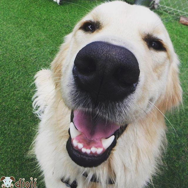 B O O P 🐾 #goldenretrieversofinstagram #puppiesofinstagram #dogsofsantabarbara #diojisb