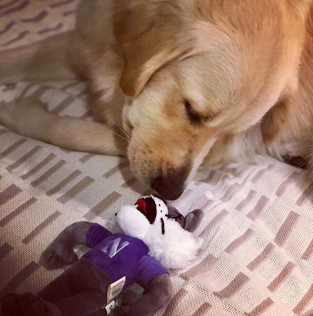 Mom and Dad went back to @northwesternu for homecoming this weekend, and all they brought home for me was this cat....😼 #B1GCats #goldenretrieversofinstagram #dogsofsantabarbara #northwesternfootball