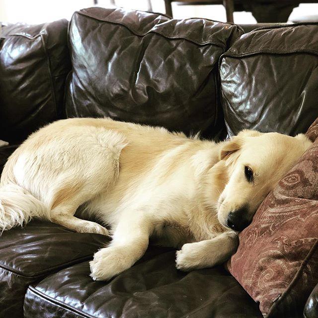 Pls do not disturb. I'm enjoying my vacation snoozle 😴 #goldenretrieversofinstagram #louiegram #snoozle #pupper