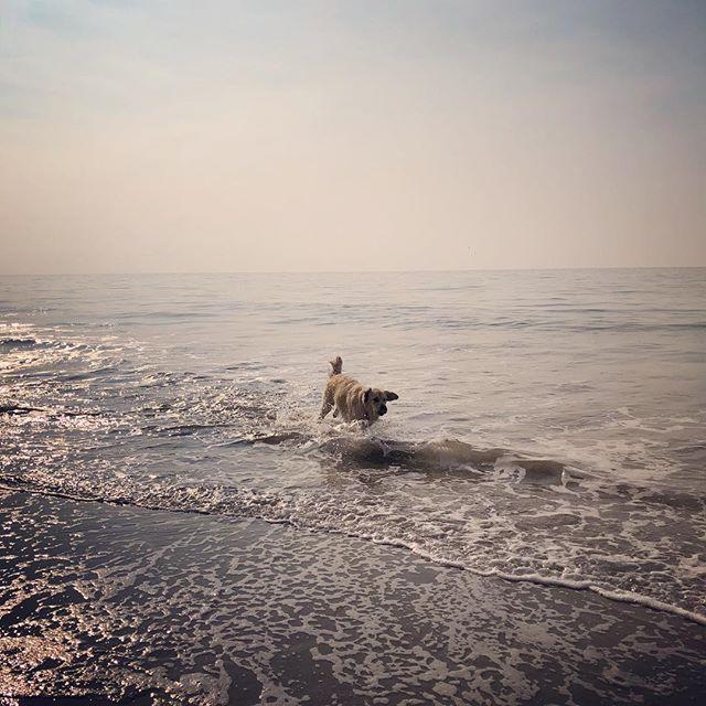 Goooooob morning! I love da beach 🌊🎾🐾 #weliveinparadise #dogsofsantabarbara #goldenretrieversofinstagram