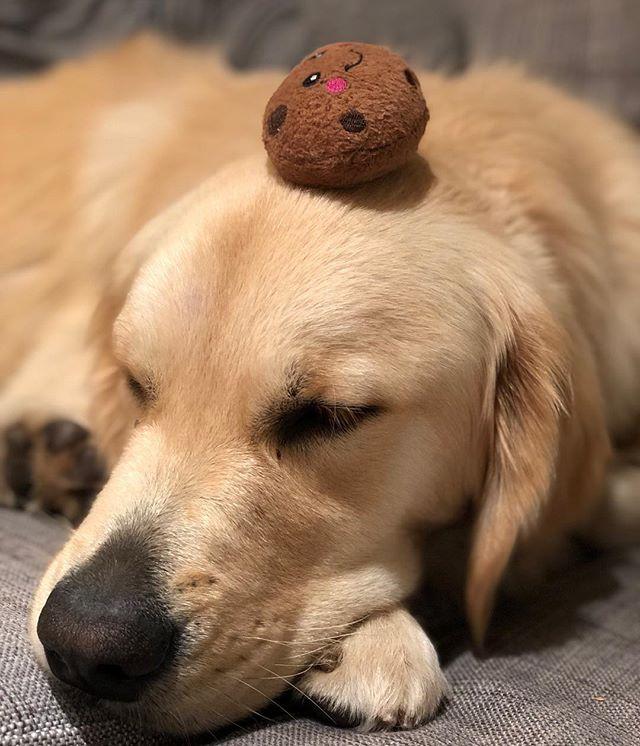 Just taking a snoozle with my favorite stuffed cookie friend 🍪 #goldenretrieverpuppy #goldenretrieversofinstagram #dogsofsantabarbara #zippypaws
