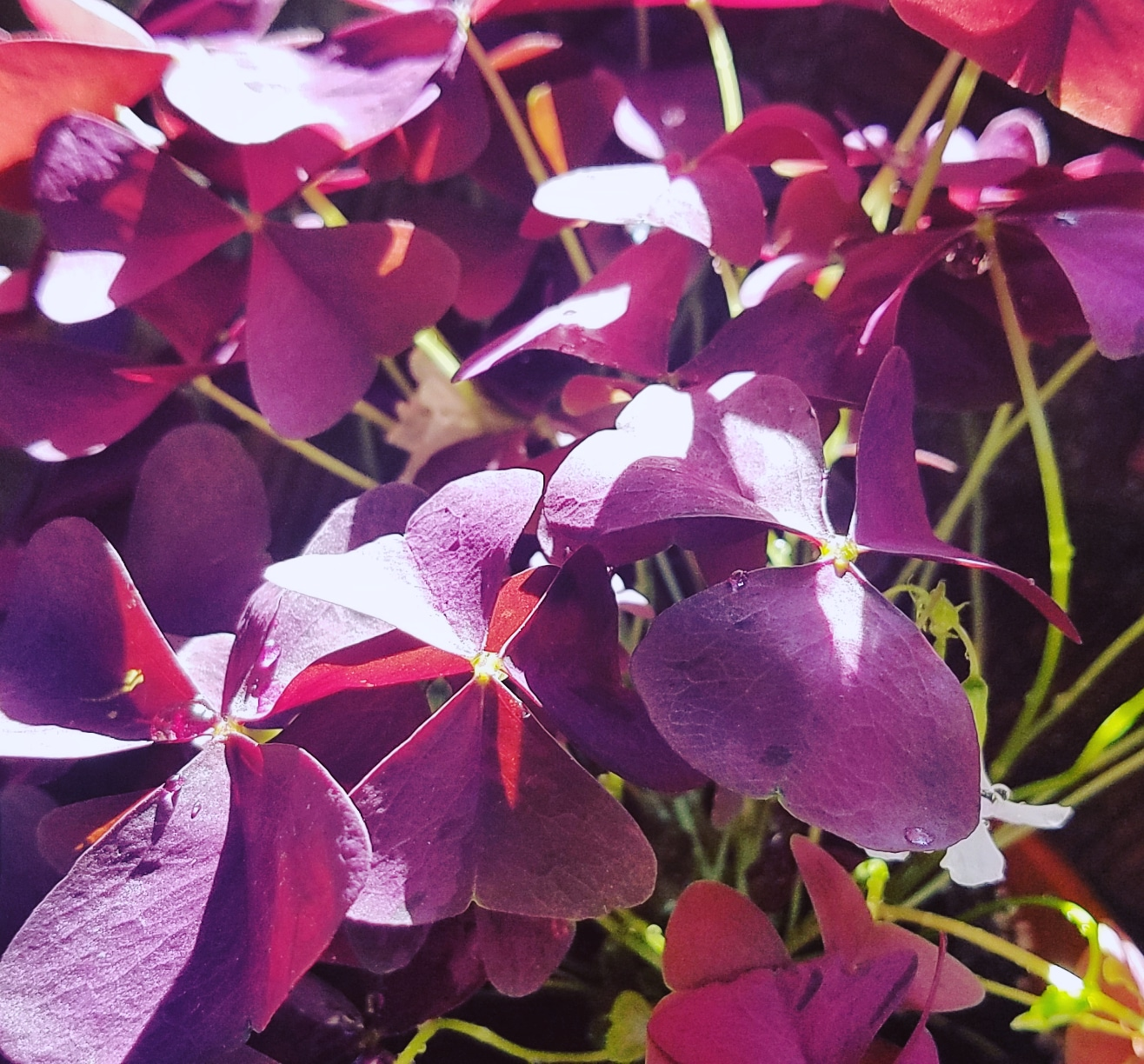 Ode to Oxalis