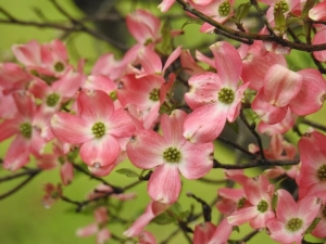dogwood smaller.jpg