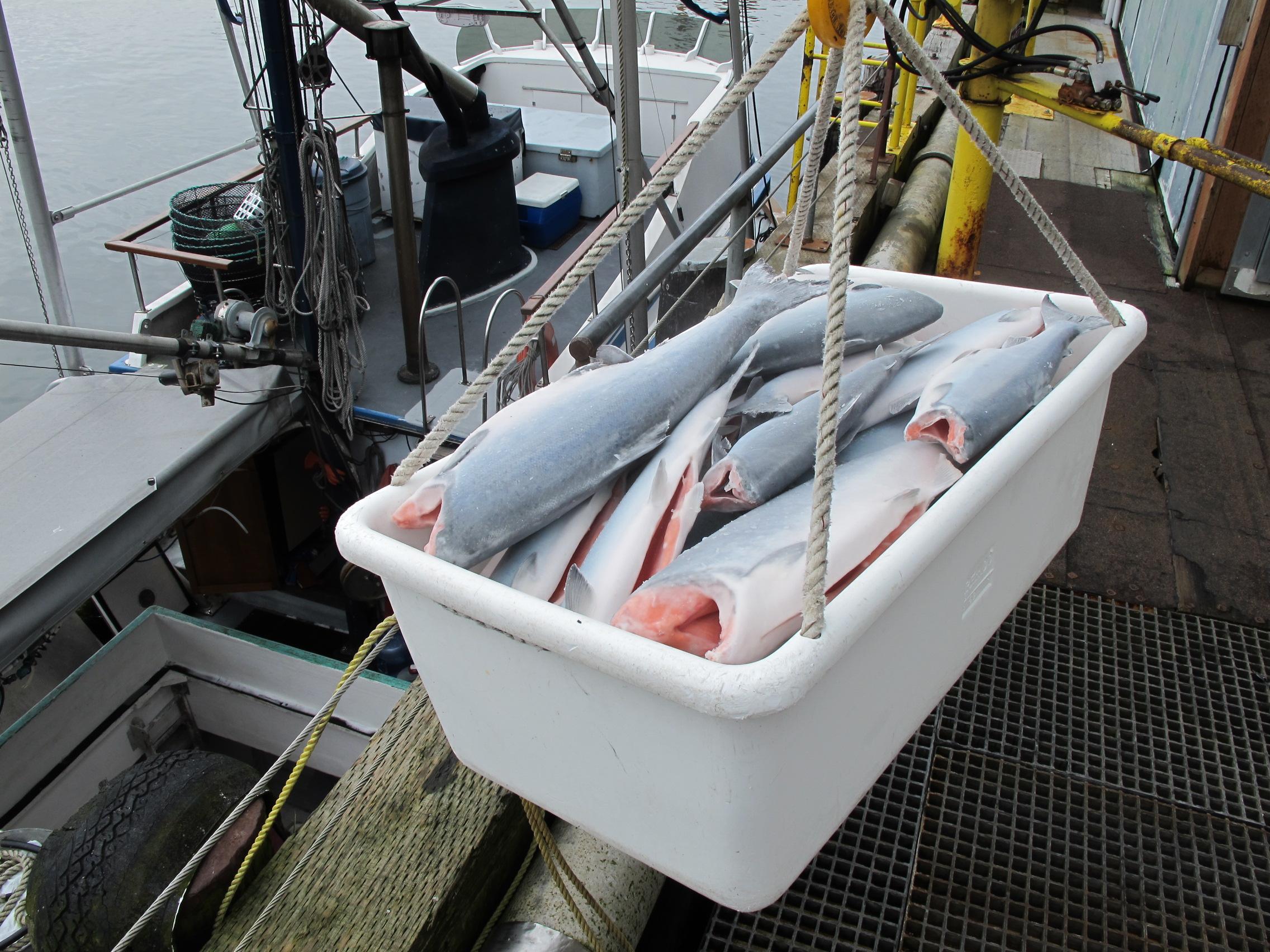 Fresh King Salmon on boat