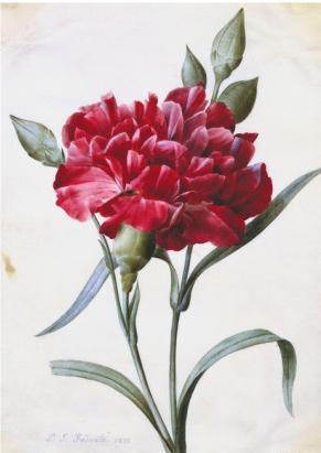 pierre-joseph-redoute-a-dark-red-carnation.jpg