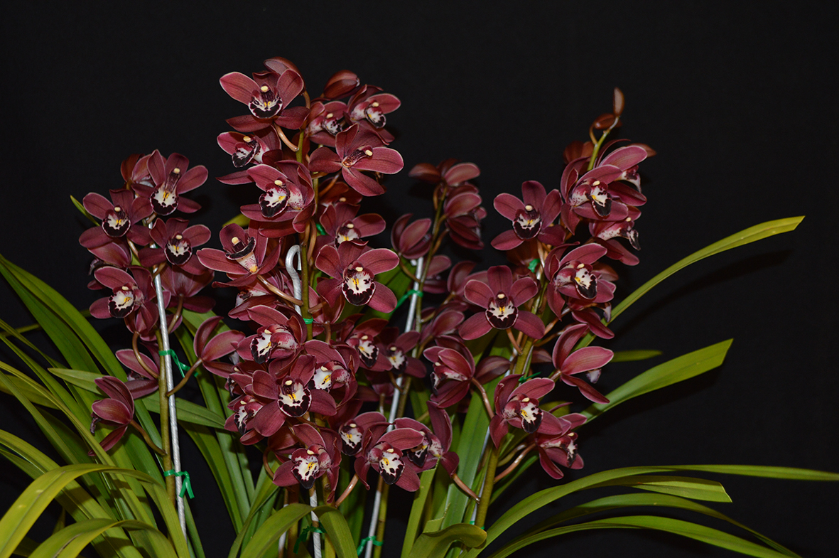 Best in Open Division Miniature Red