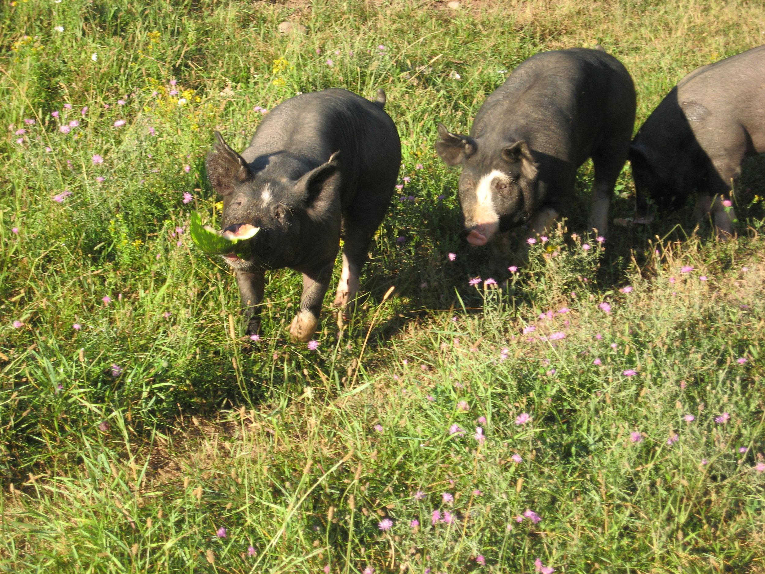 pasture raised hogs.jpg