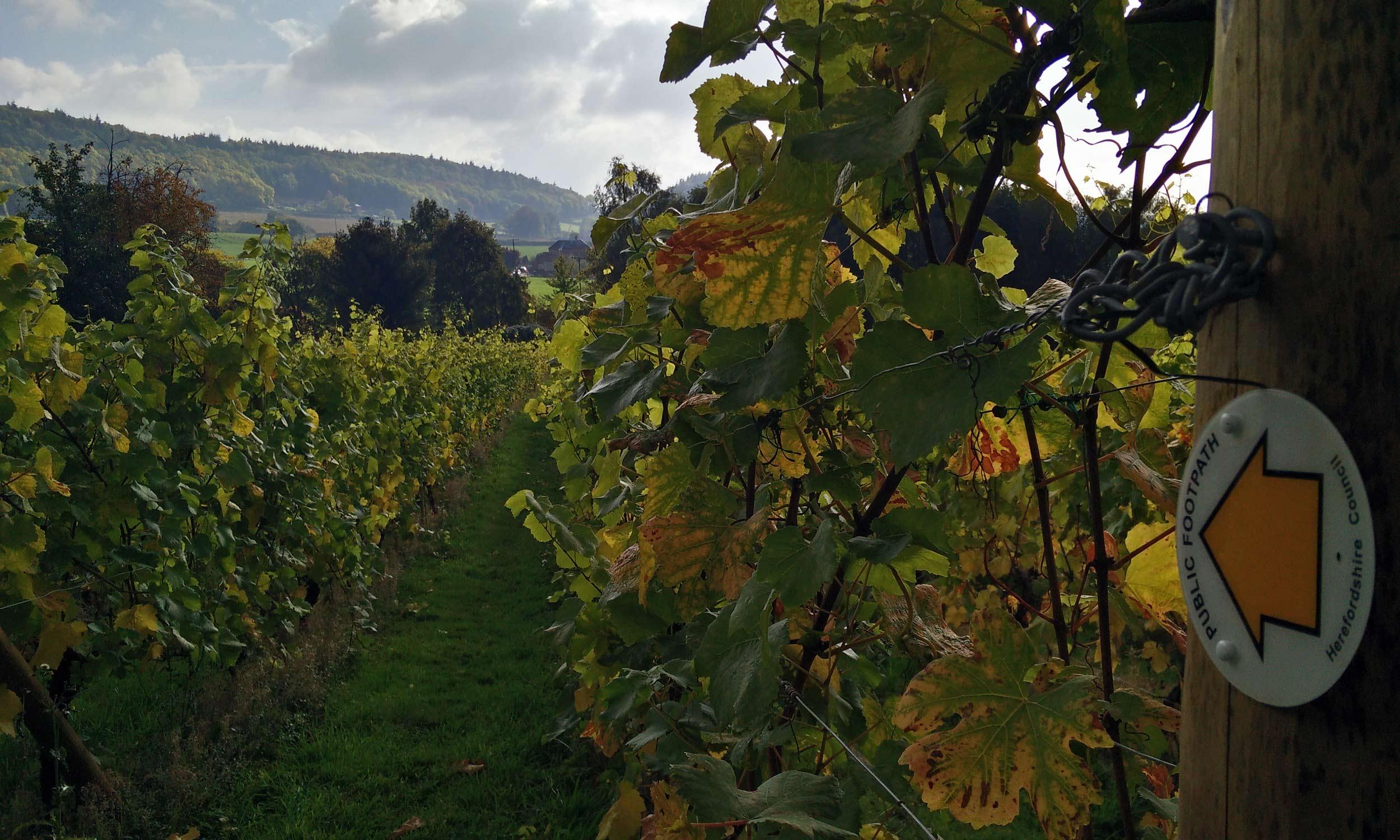 Vines in Hereford UK