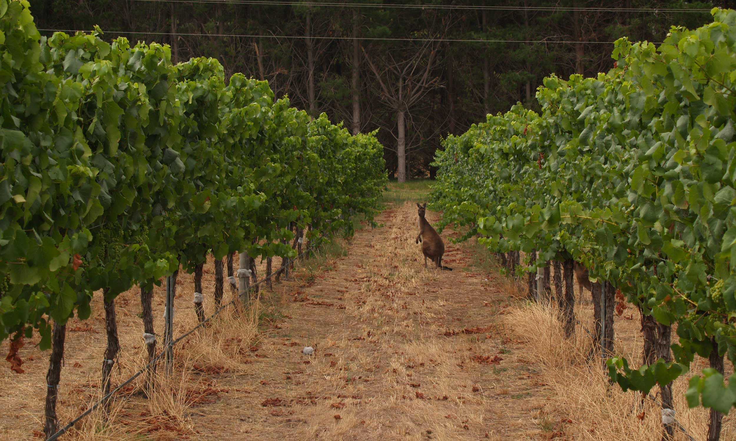 Kangaroo in Vines, Margaret River