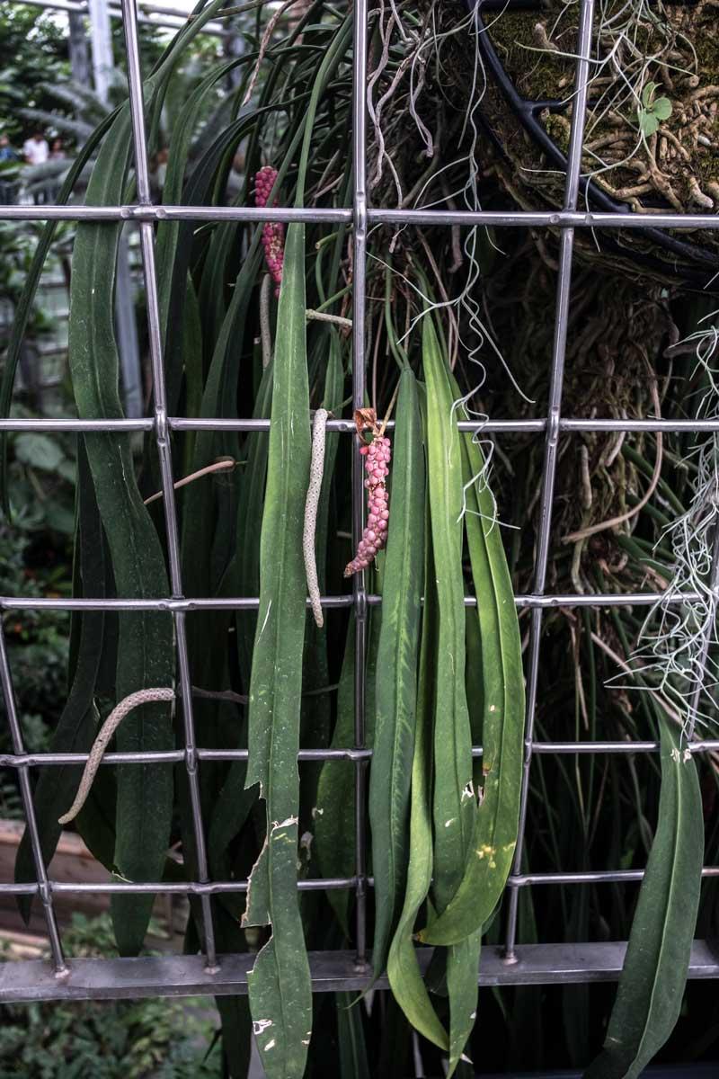 Anthurium Vitariifolium - Brazil, Ecuador, Peru