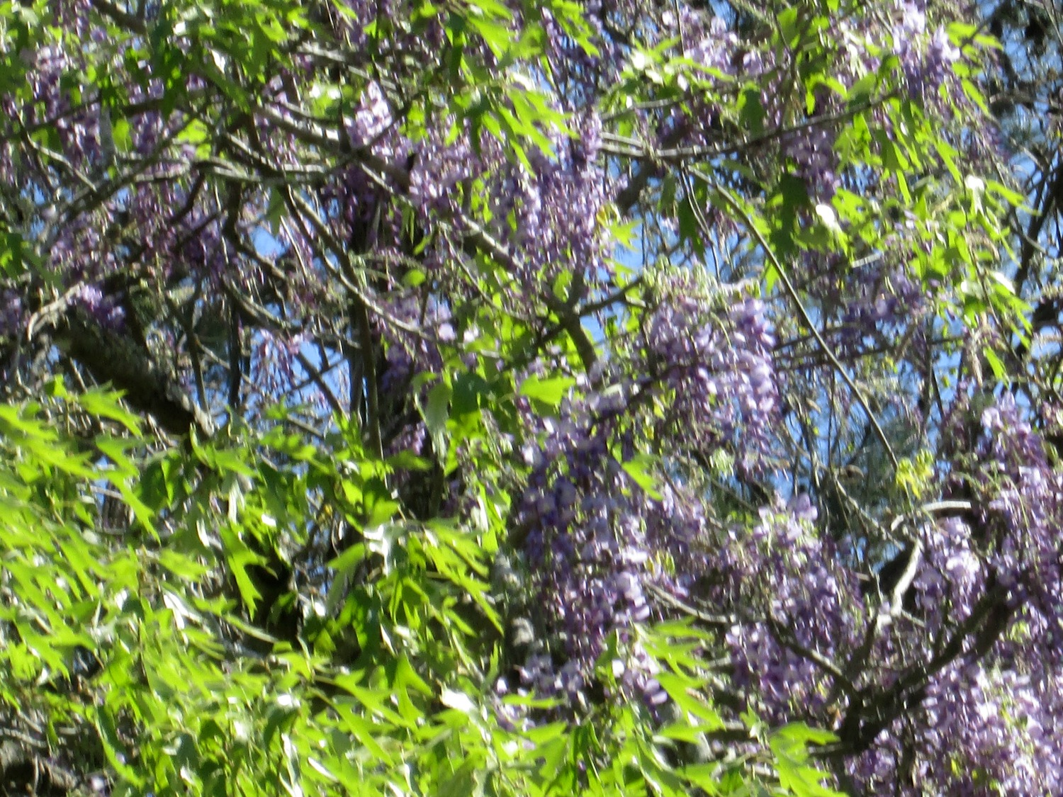 The wisteria is showing off on the fence, in the trees and along the roadside here in our yard.