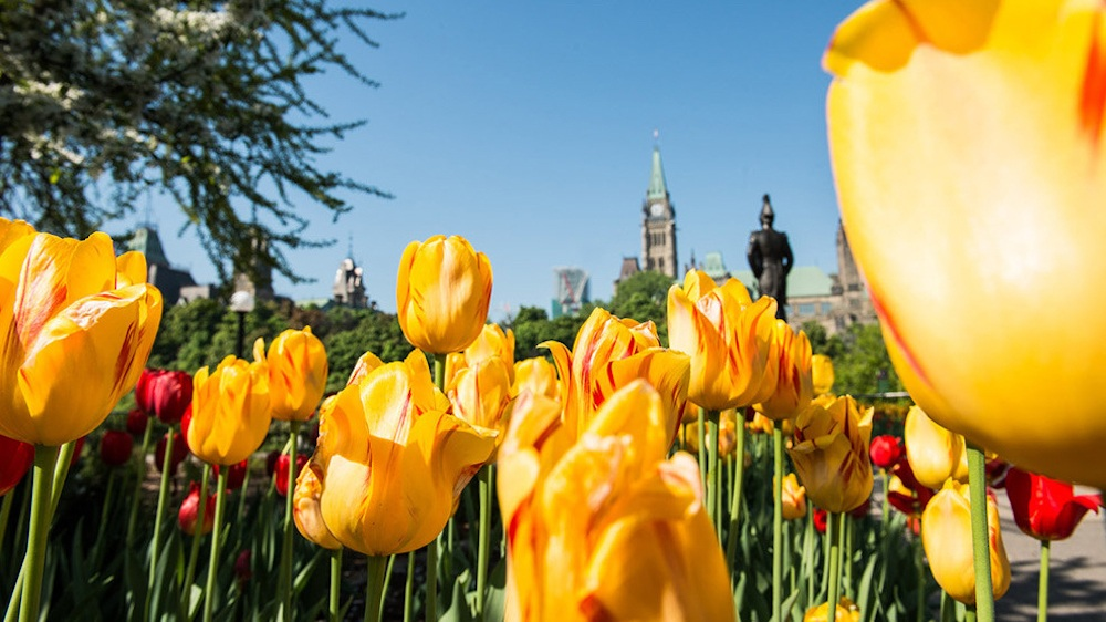 tulips-985x554-mod.jpg