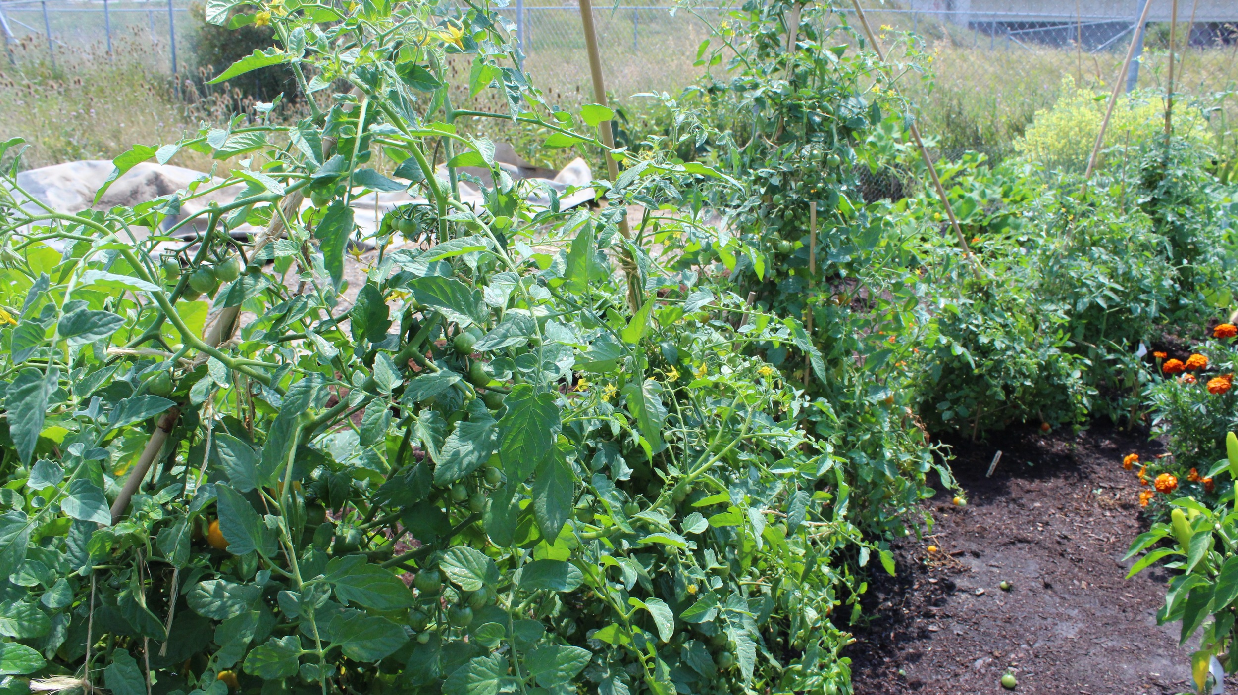 Our tomato plants, after being harvested