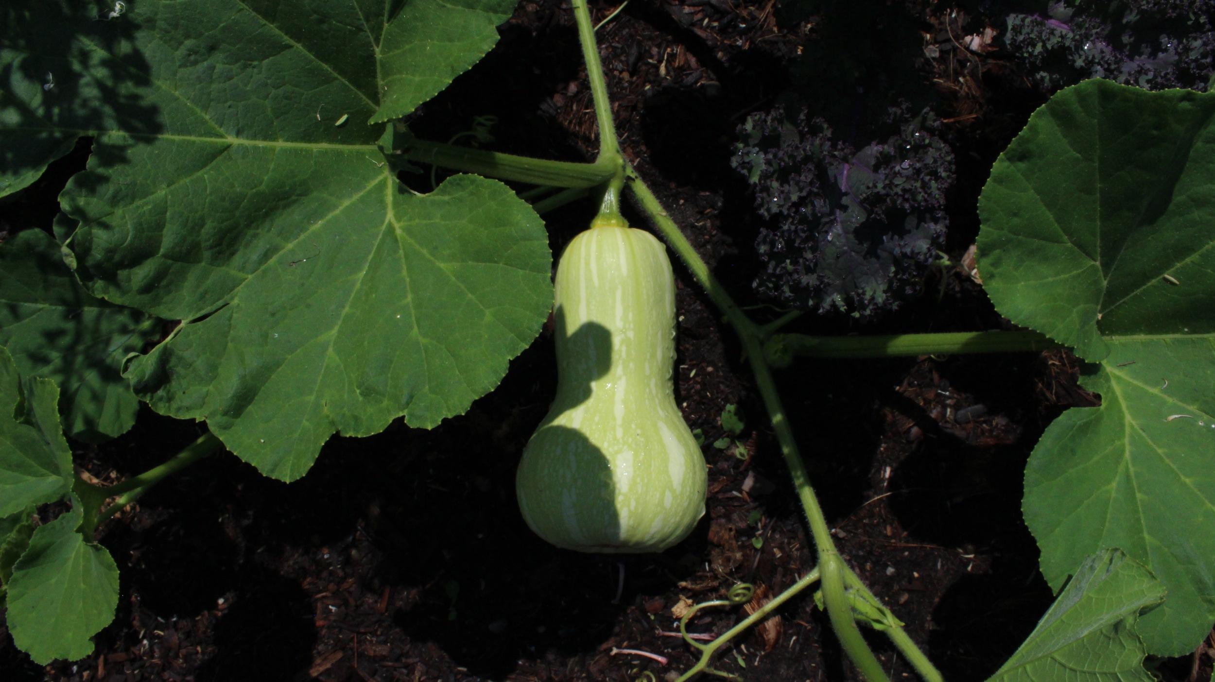 A lil butternut squash, not yet ripe enough